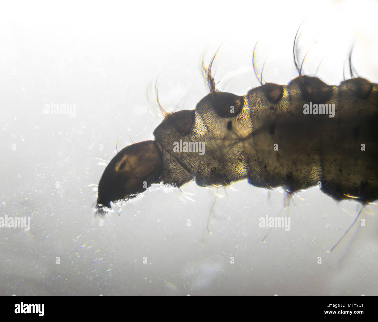 Clogmia albipunctata (drain fly) larvae magnified through a microscope 40 times - Stock Image