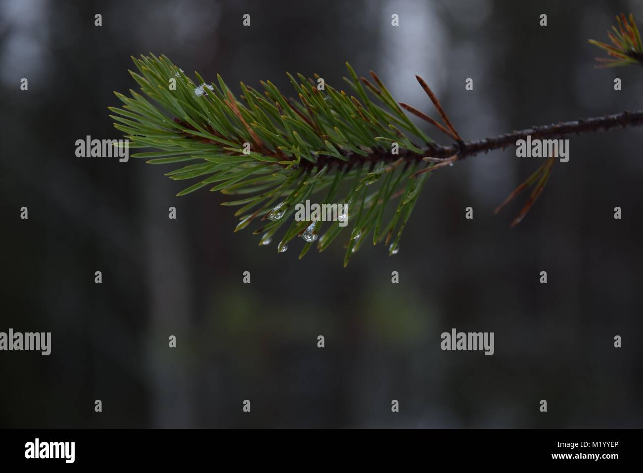 Frozen raindrops on a branch - Stock Image