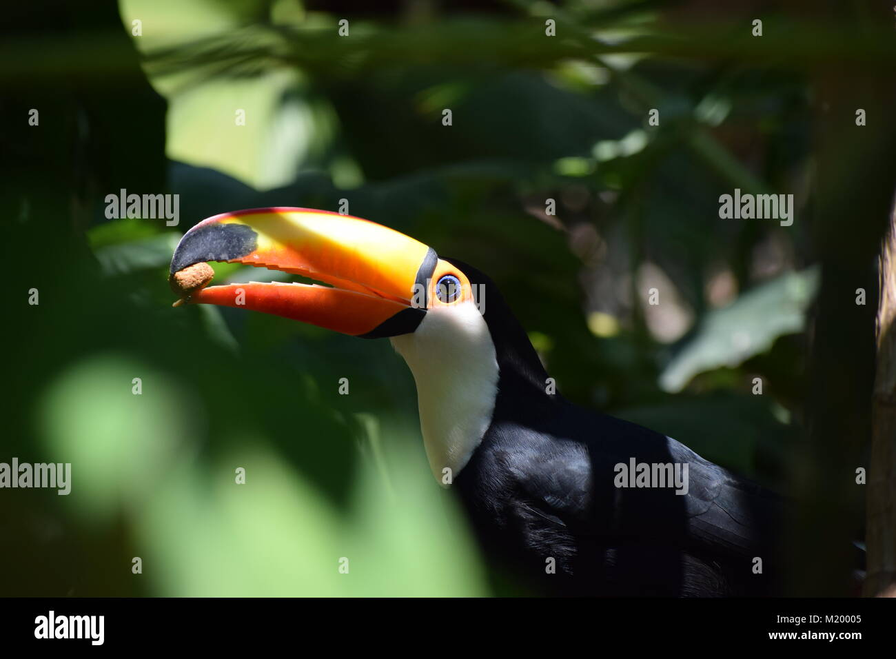 Giant toucan (Ramphastos toco) in the forest, exotic south american bird - Stock Image