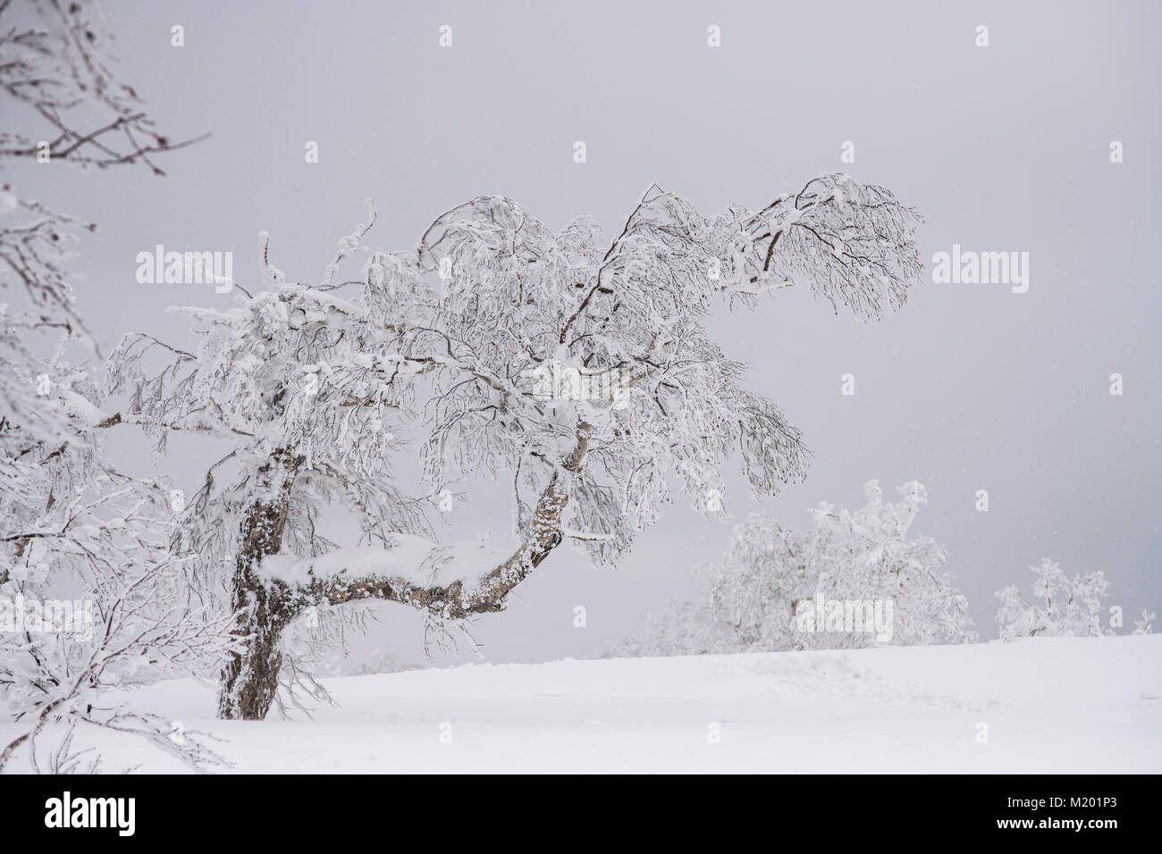 beautiful frozen tree in winter season snow stuck on branch and trunk Stock Photo