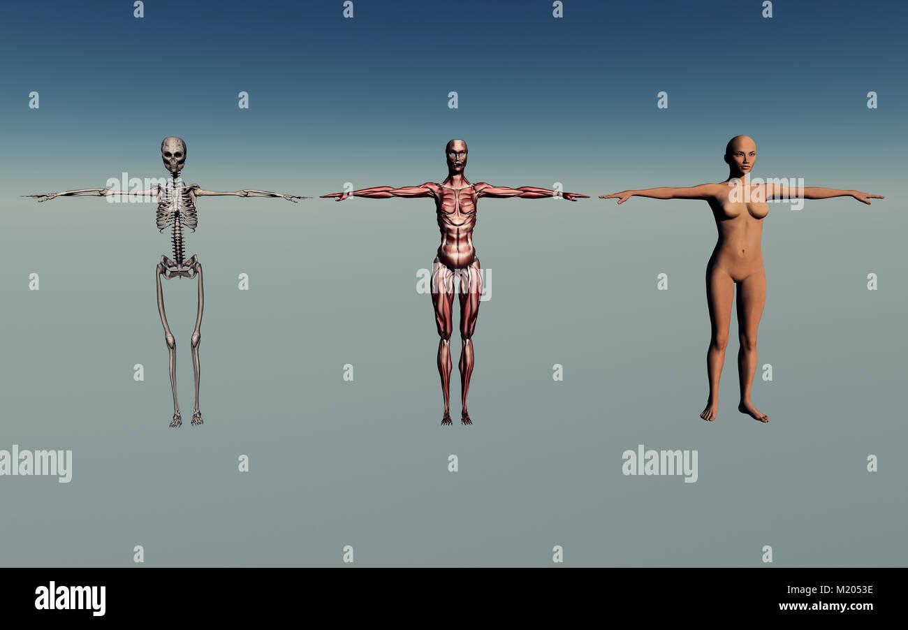 female Human Anatomy - Stock Image