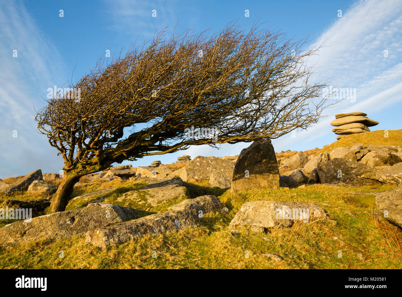 Iconic hawthorn tree of the slopes of Stowes Hill on Bodmin Moor Cornwall - Stock Image