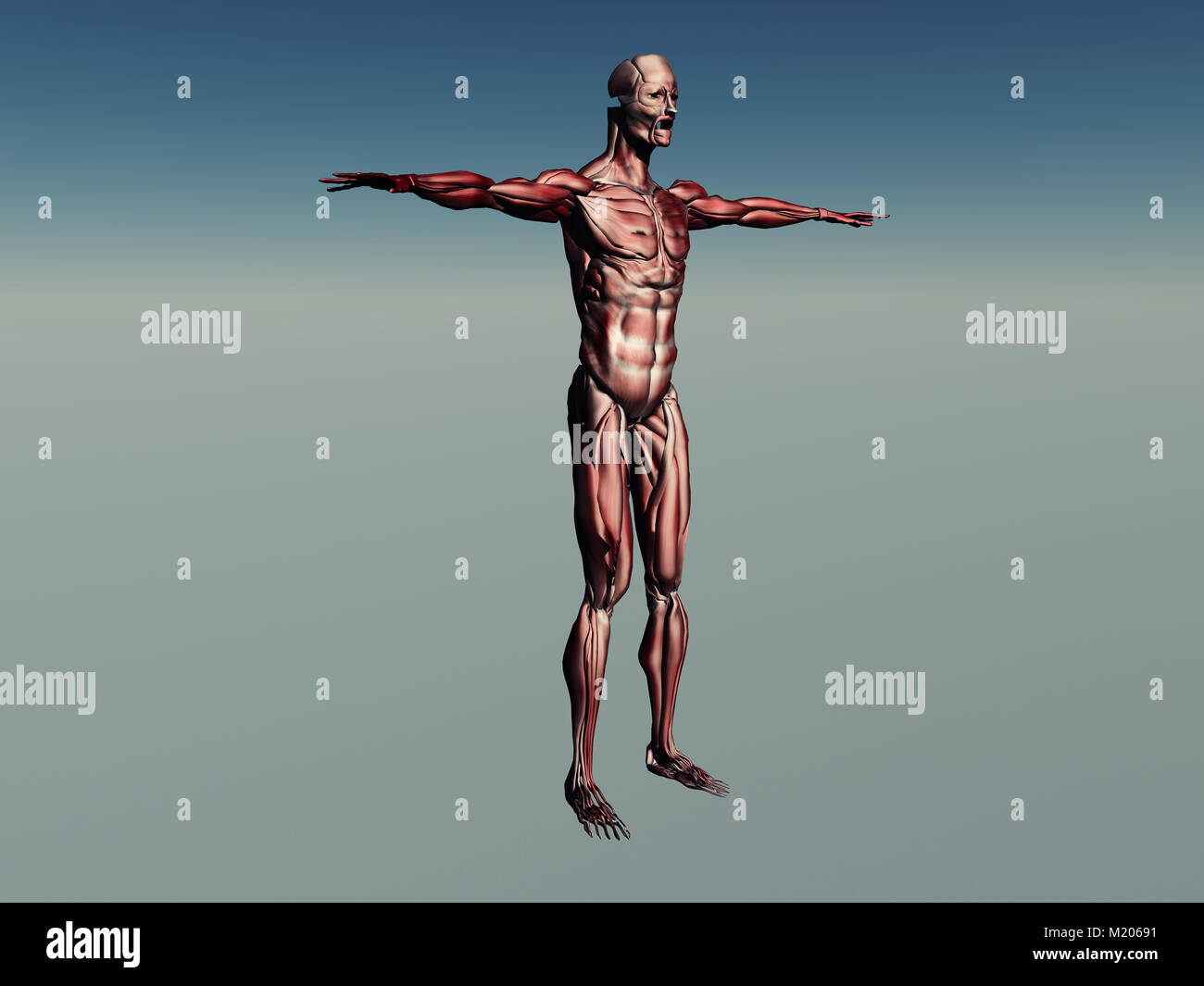 Muscle Hypertrophy Stock Photos & Muscle Hypertrophy Stock