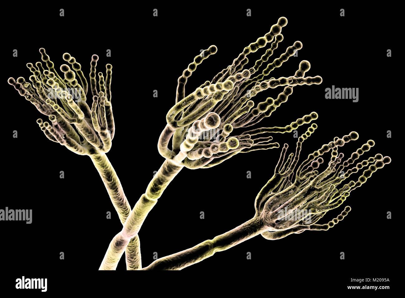Penicillium fungus. Computer illustration of a Penicillium sp. fungus. Specialised threads, called conidiophores, - Stock Image