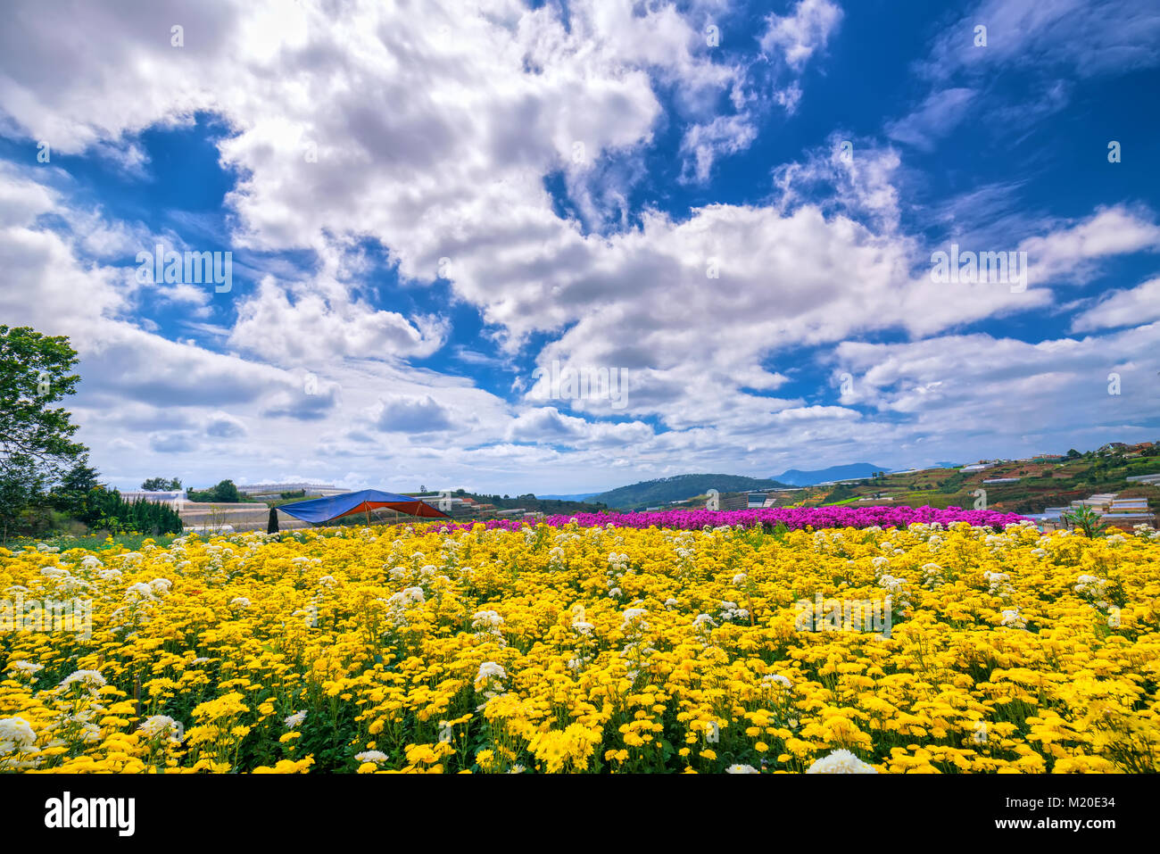 Yellow daisy flower field blooming in spring morning with blue ...