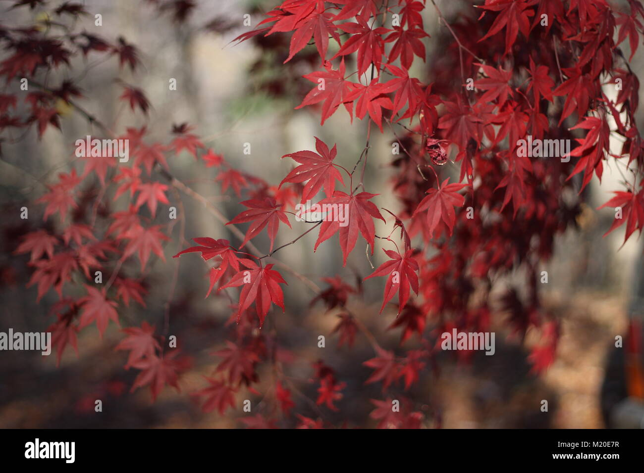 pretty red fall leaves - Stock Image