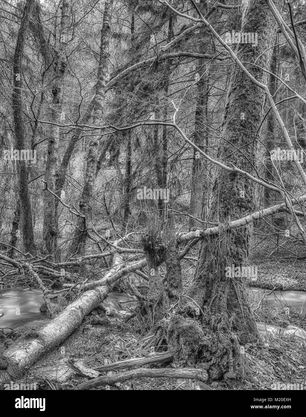 Monochrome long exposure photography of a wild untouched forest with fallen trees. moss,undergrowth,fern,grass and Stock Photo