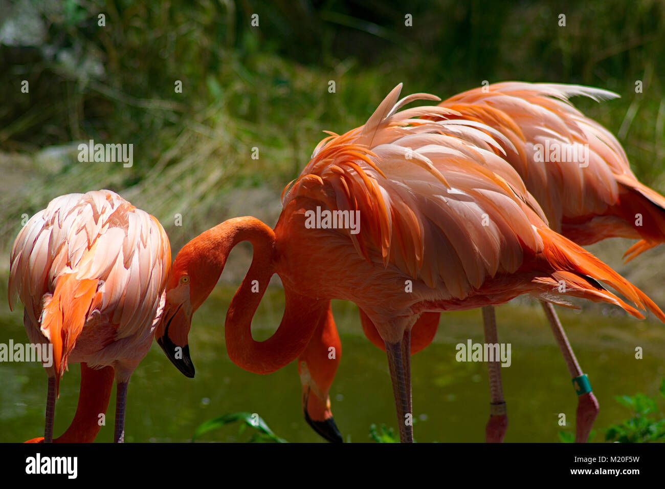 Flamingos at Baltimore Zoo - Stock Image