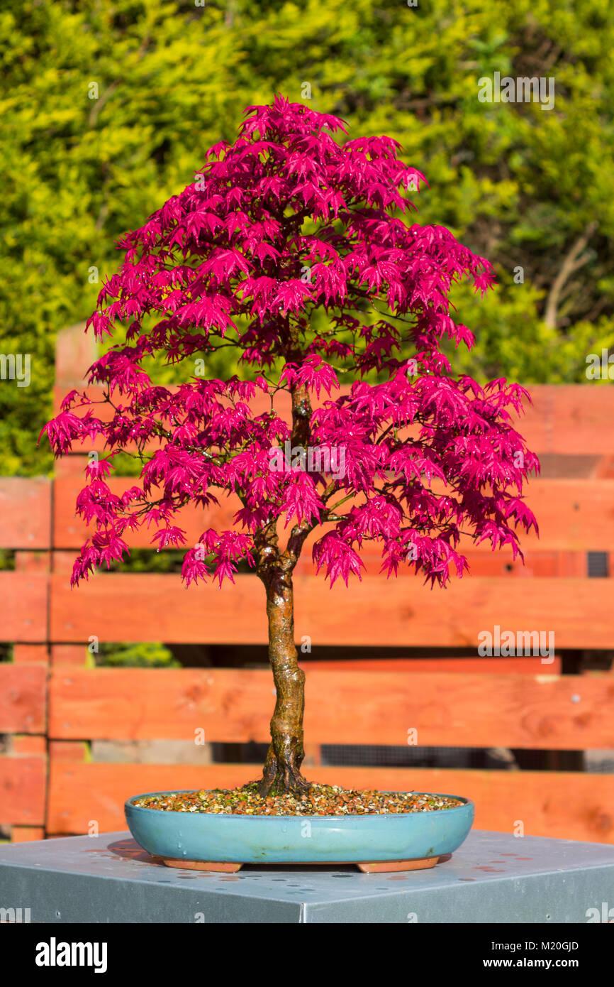 Acer Palmatum Pot Stock Photos Acer Palmatum Pot Stock Images Alamy