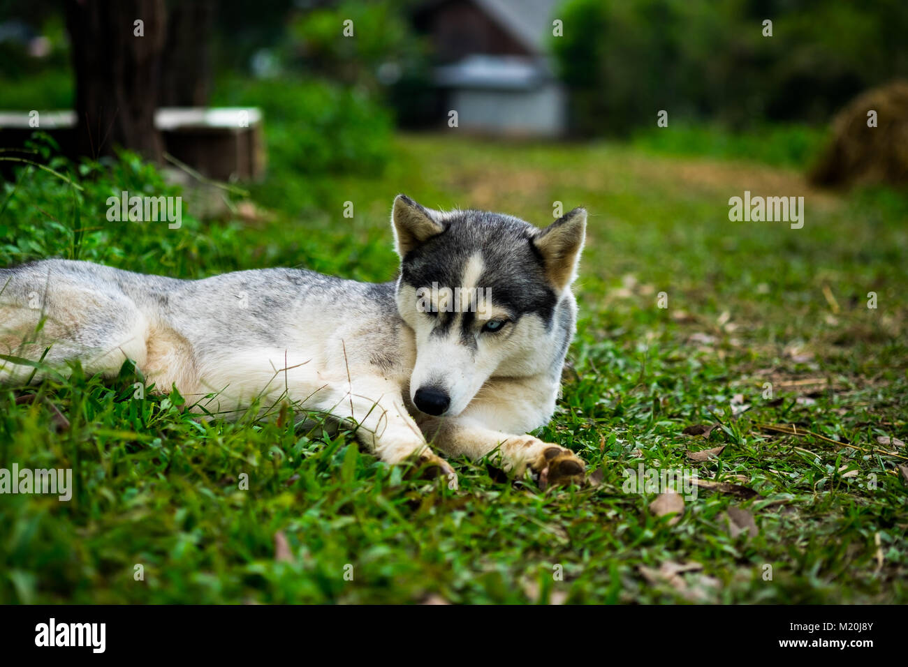 A little siberian husky sitting and take a look something with interest in the midst of nature, selective focus. Stock Photo