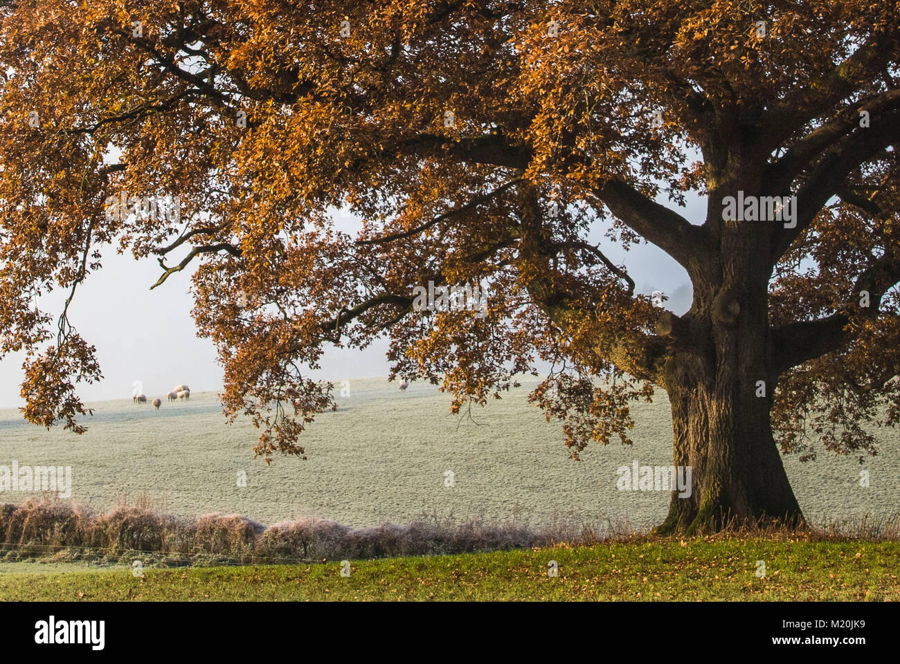 Large autumn tree in field framing sheep in the misty background landscape of Staffordshire England UK. - Stock Image