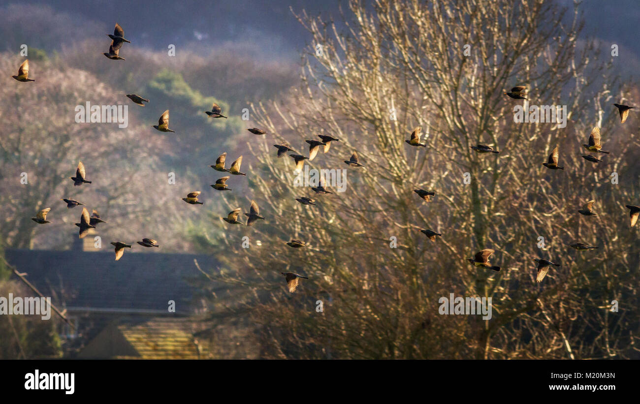 UK wildlife: Mixed flock of common starlings (Sturnus vulgaris) and fieldfares (Turdus pilaris) in flight, roaming - Stock Image