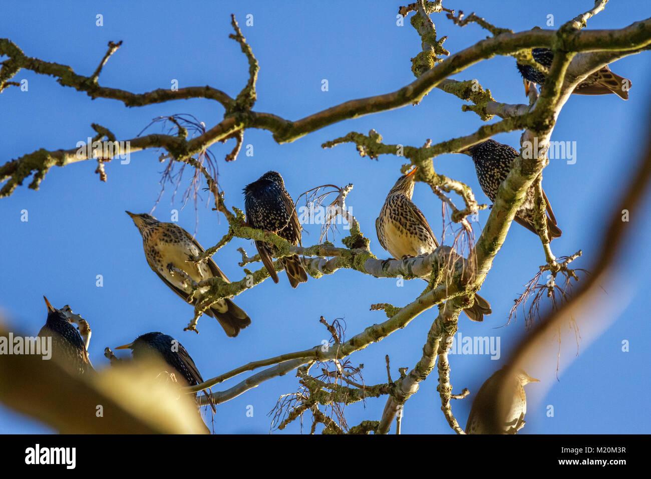 UK wildlife: Mixed flock of common starlings (Sturnus vulgaris) and fieldfares (Turdus pilaris) perched in a tree - Stock Image