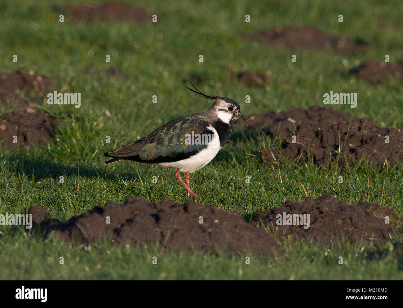 Male Northern Lapwing Vanellus vanellus on it's breeding grounds in the Peak District Pennines South Yorkshire - Stock Image