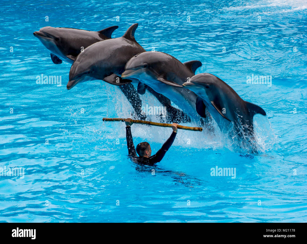 Dolphins jumping over their trainer at the Loro Parque, Tenerife 2016 - Stock Image