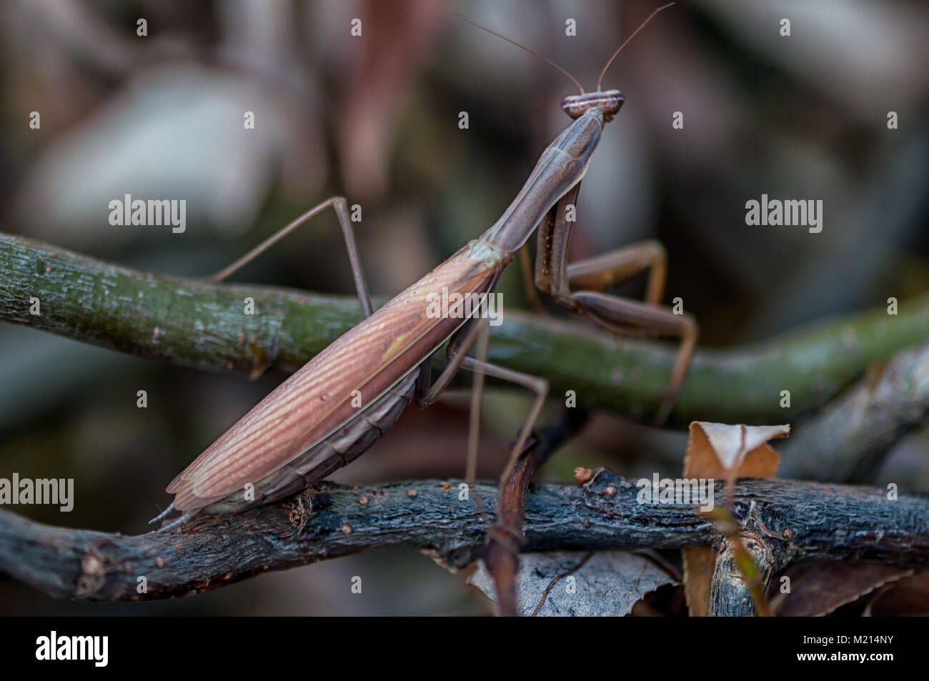 Closeup of a Praying Mantis (European mantis). Shallow depth of field. Stock Photo