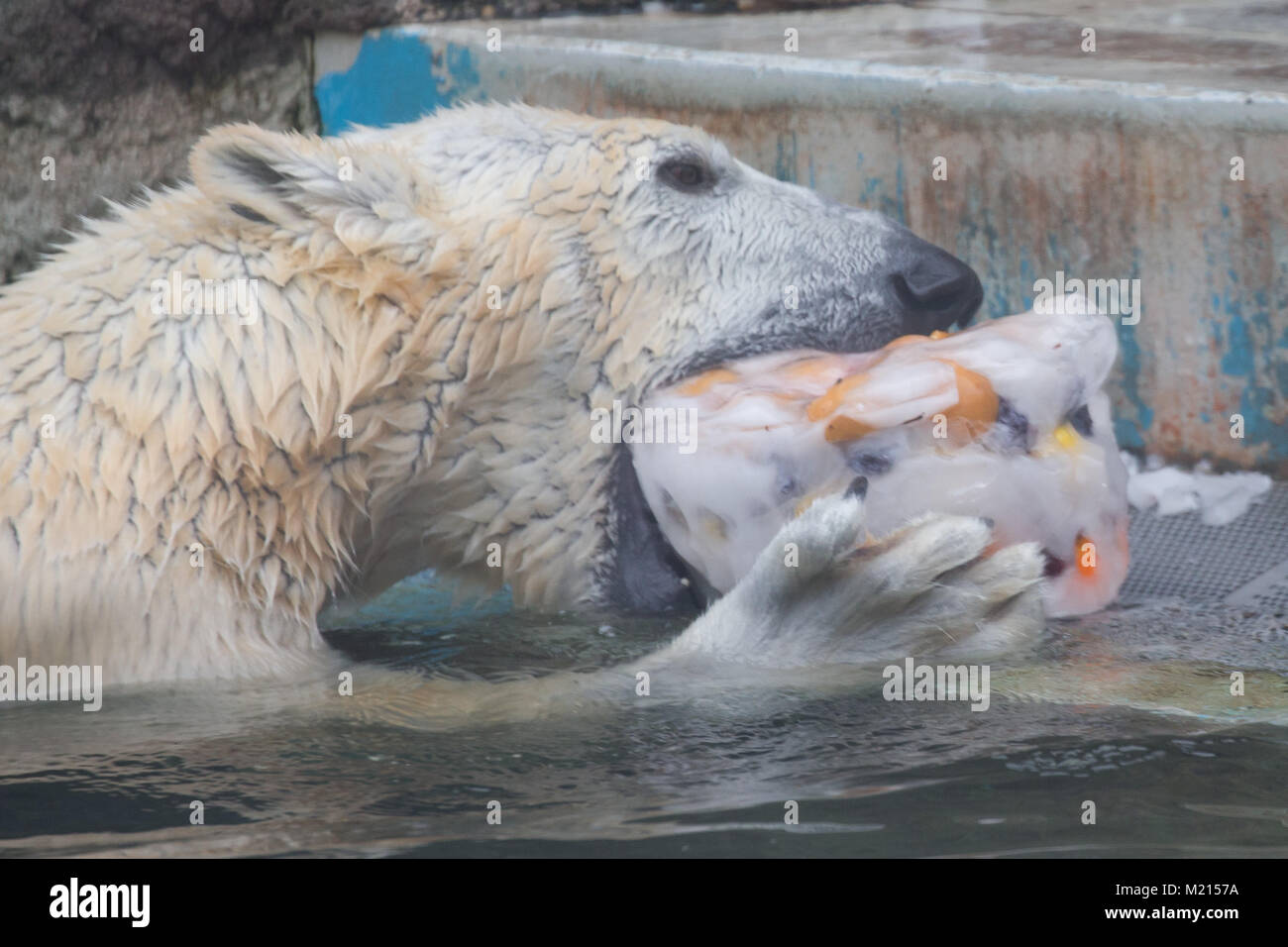 Polar Bear Eats Fish In Stock Photos & Polar Bear Eats Fish