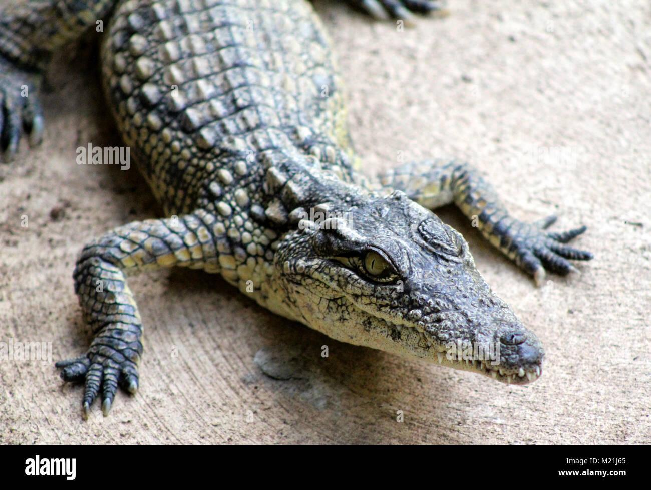 Nile crocodile at Kruger National Park South Africa - Stock Image