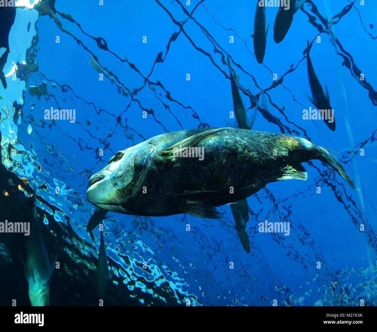 Bid fish underwater at Cape Town South Africa - Stock Image