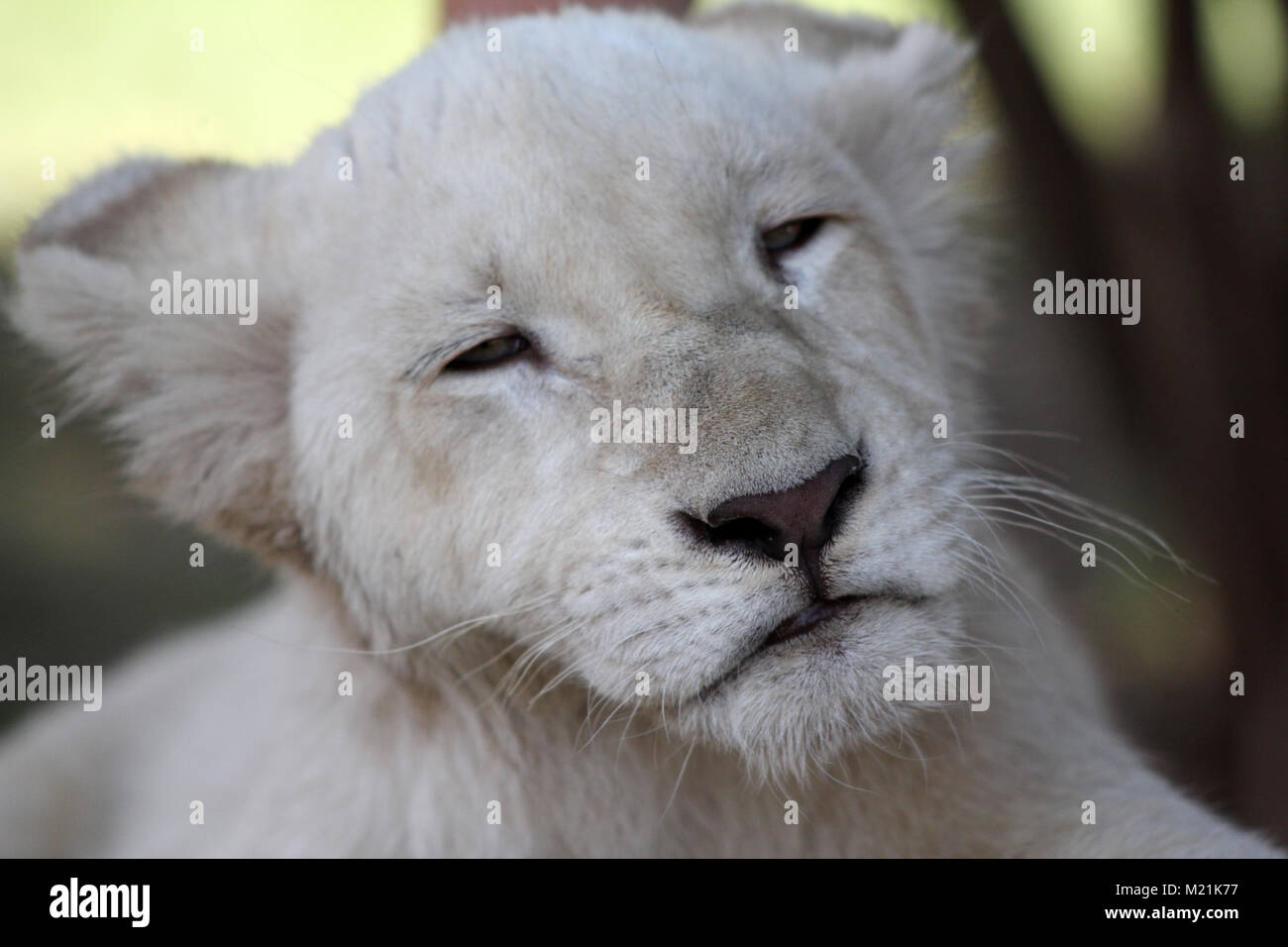 White lion puppy or cub with green eyes close up - Stock Image