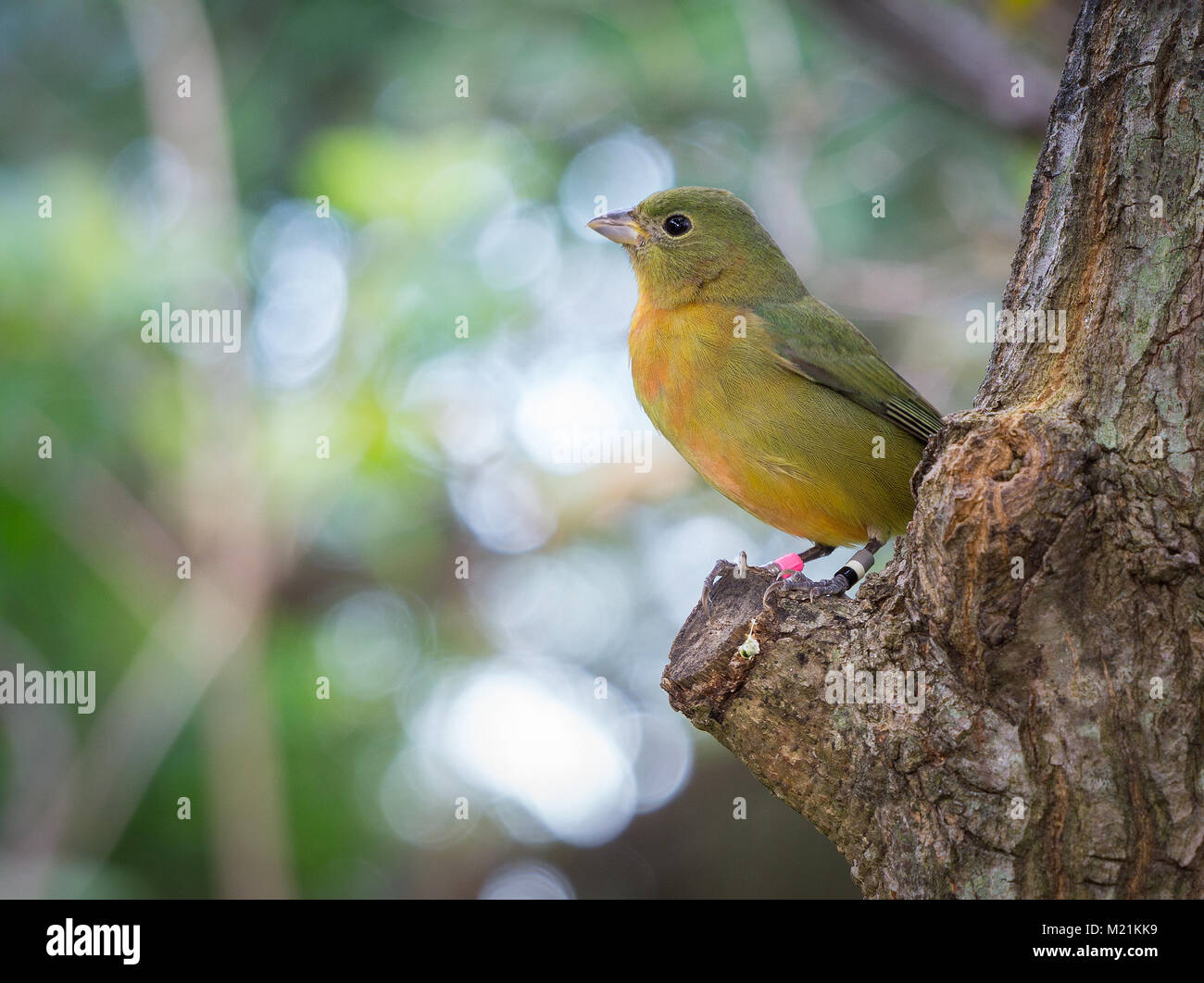 Young banded Painted Bunting - Stock Image
