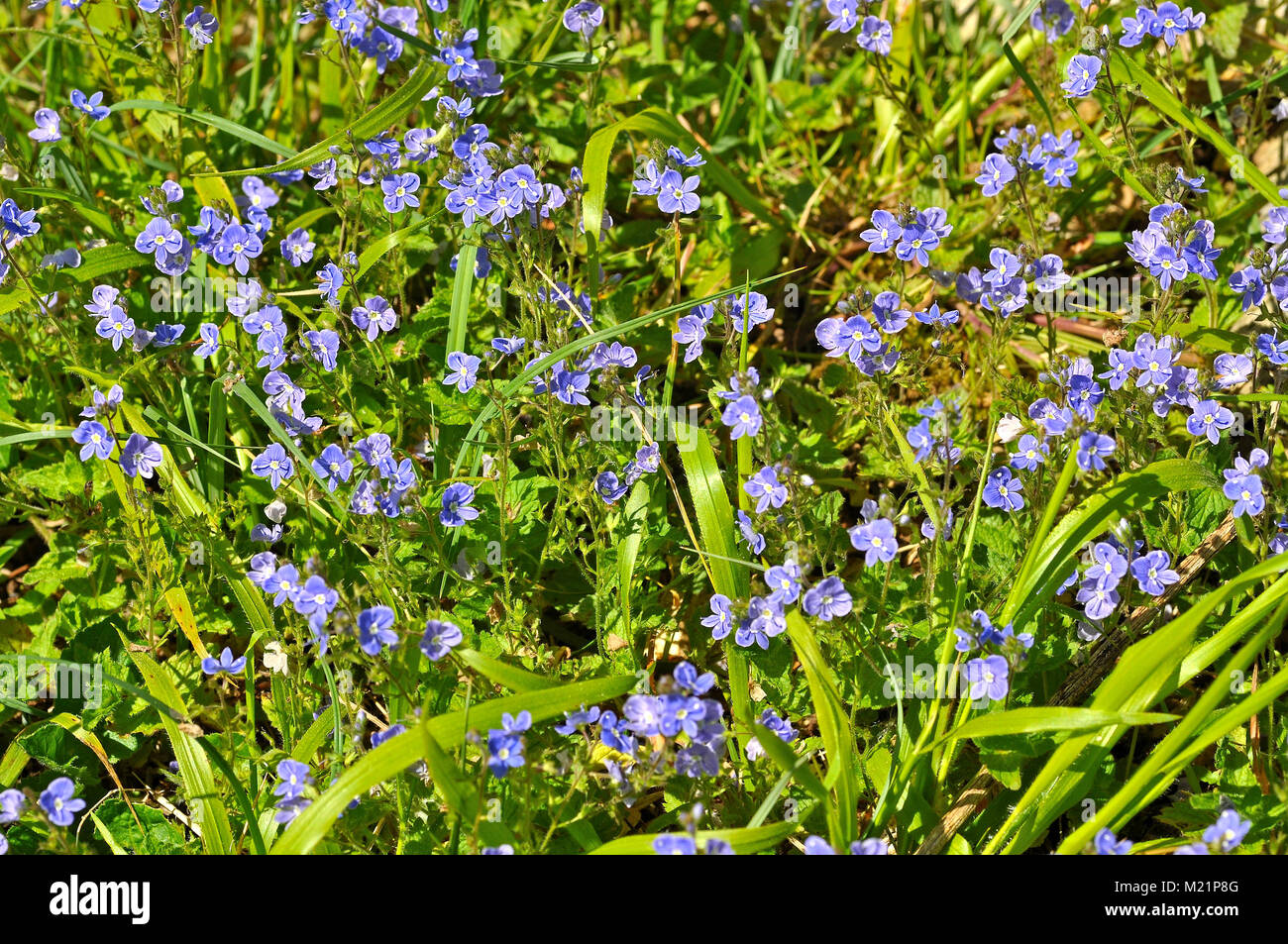 Forget-me-not flowers in Farley Mount, Winchester, Hampshire, UK. - Stock Image