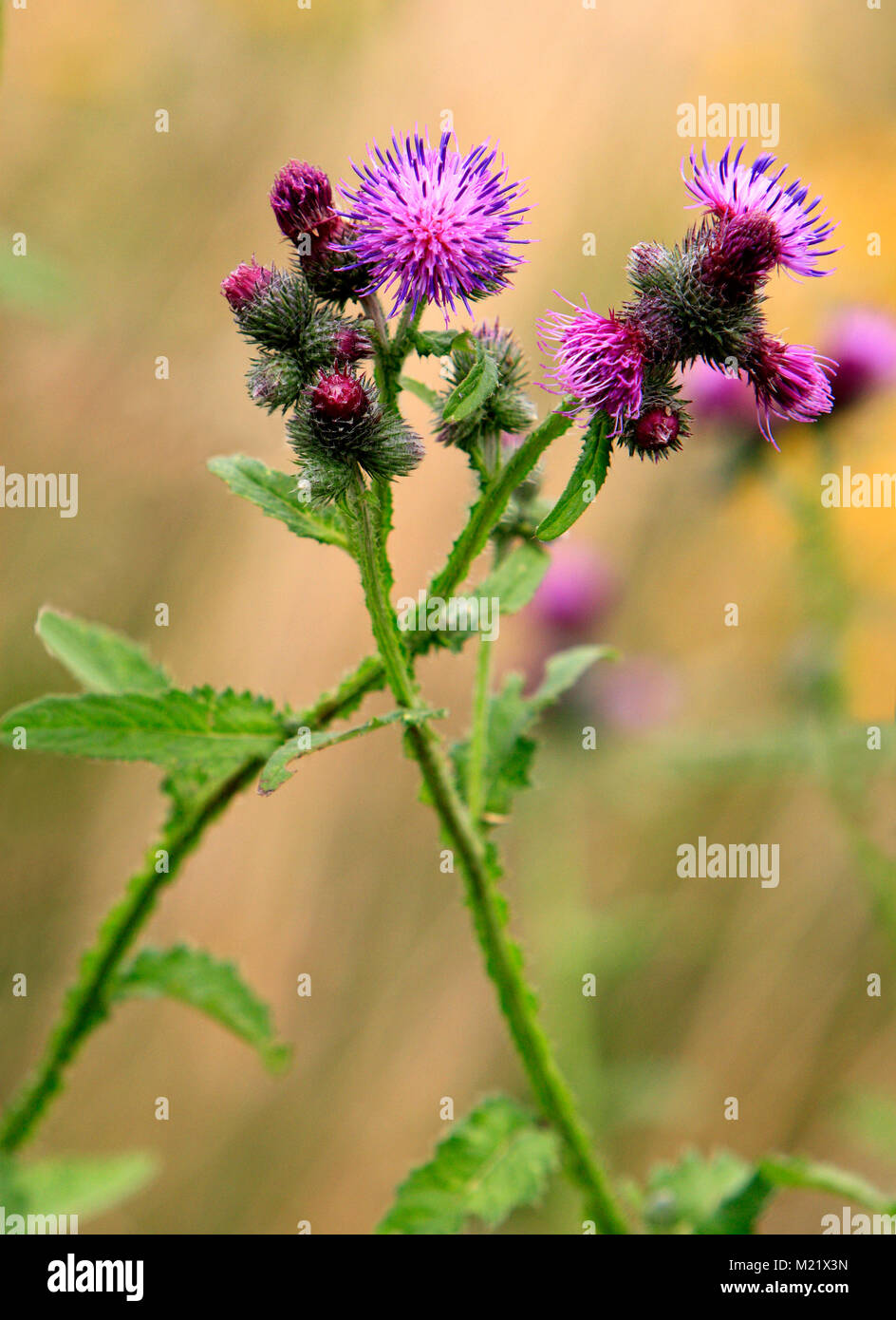 Spear Thistle plant in a forest grassy meadow in south Poland - Stock Image
