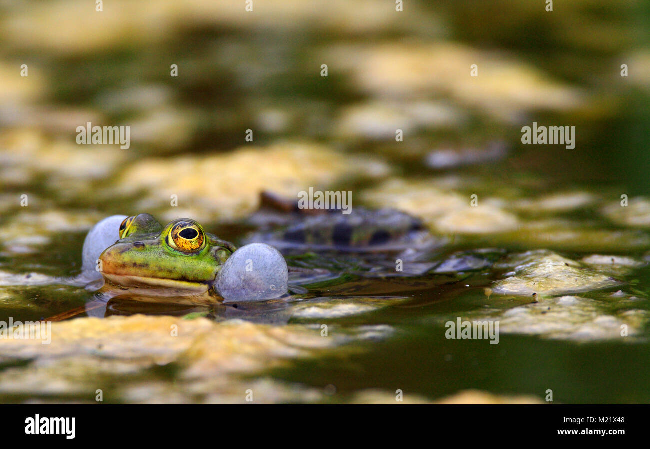 Single Edible Frog on water surface of wetlands by the Biebrza river in Poland during a spring mating period - Stock Image