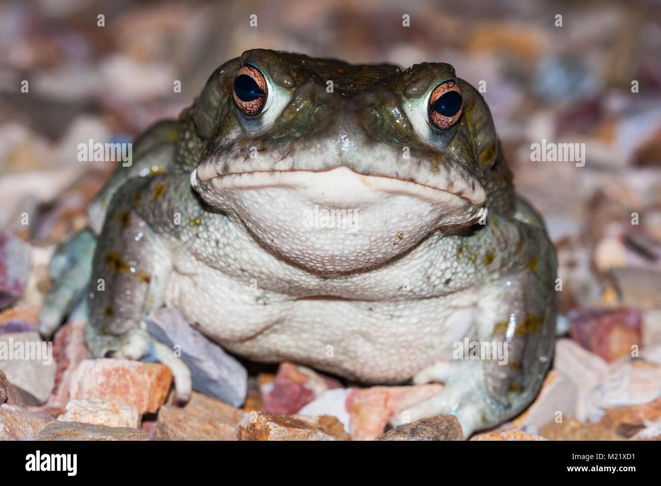 The Colorado River toad (Incilius alvarius), the Sonoran Desert toad, is a psychoactive toad found in northern Mexico - Stock Image