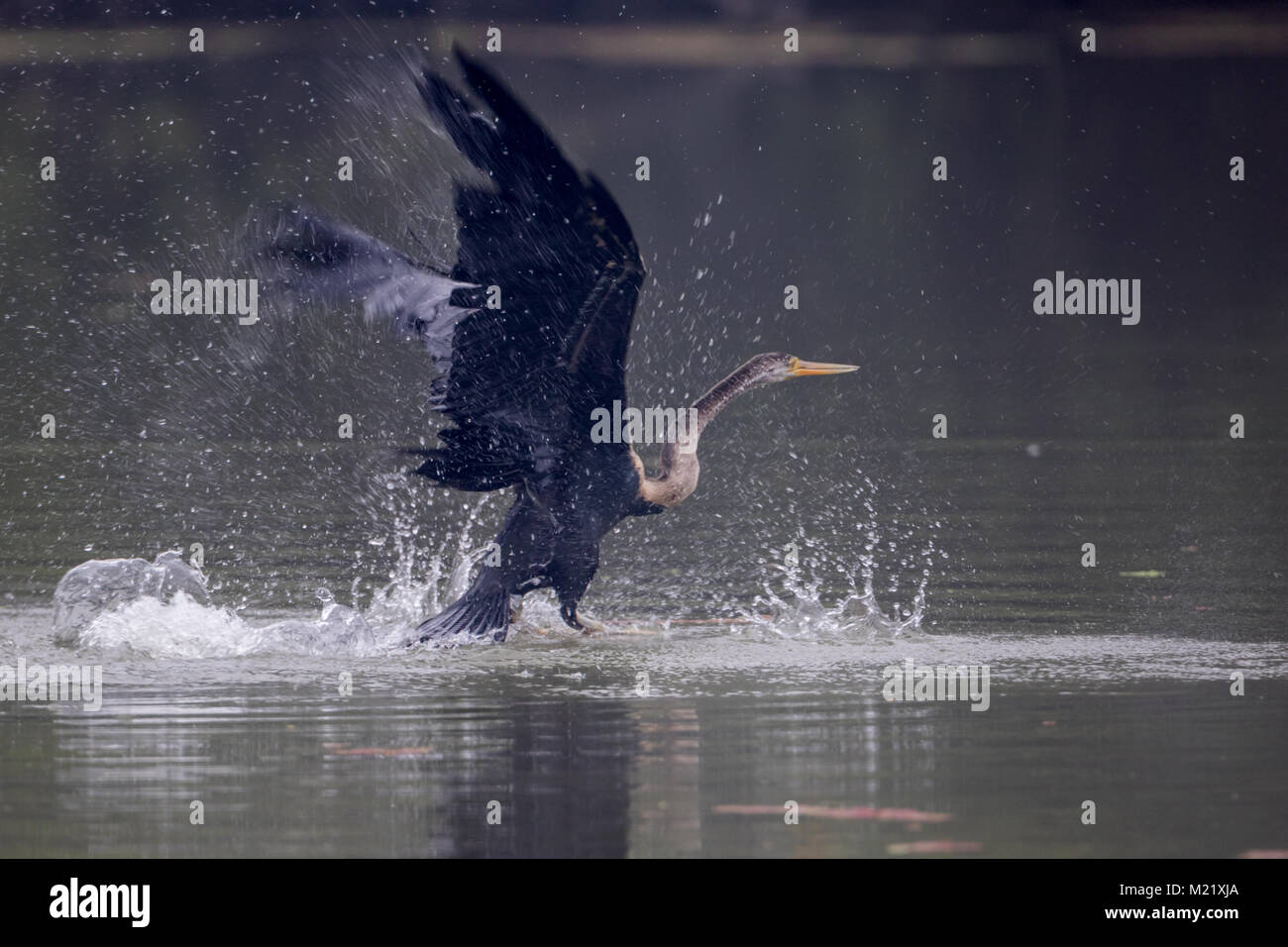 The Oriental darter or Indian darter (Anhinga melanogaster) catching and eating the fish in the lake at Bharatpur - Stock Image