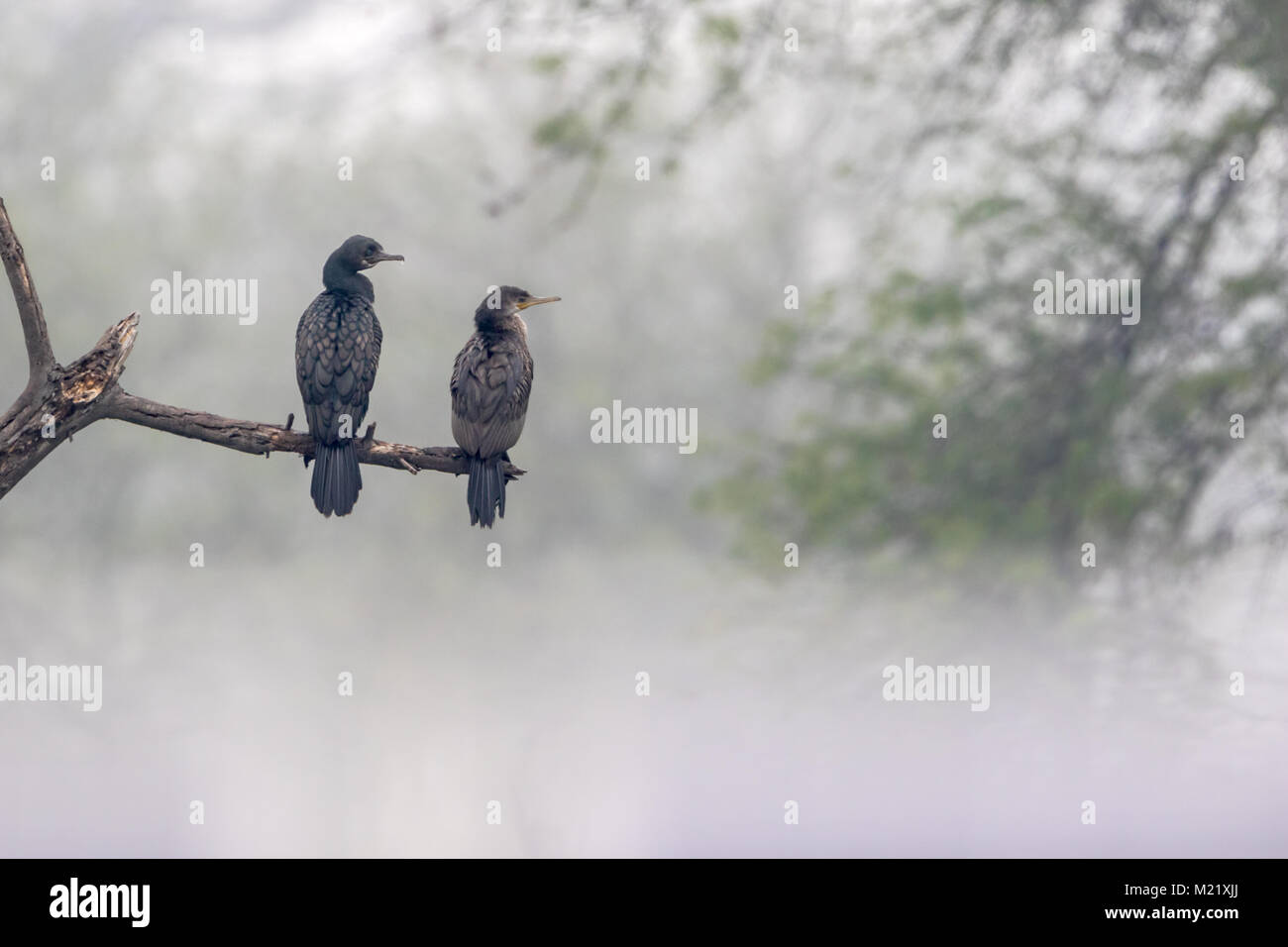 The great cormorant (Phalacrocorax carbo) pair resting in mist at Bharatpur Bird Sanctuary in Rajasthan, India - Stock Image