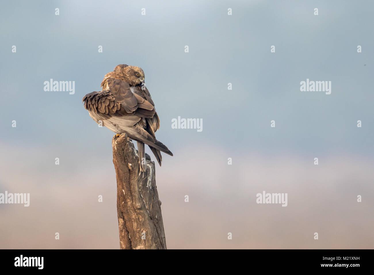 The western marsh harrier (Circus aeruginosus) bird preening at Bharatpur Bird Sanctuary in Rajasthan, India - Stock Image