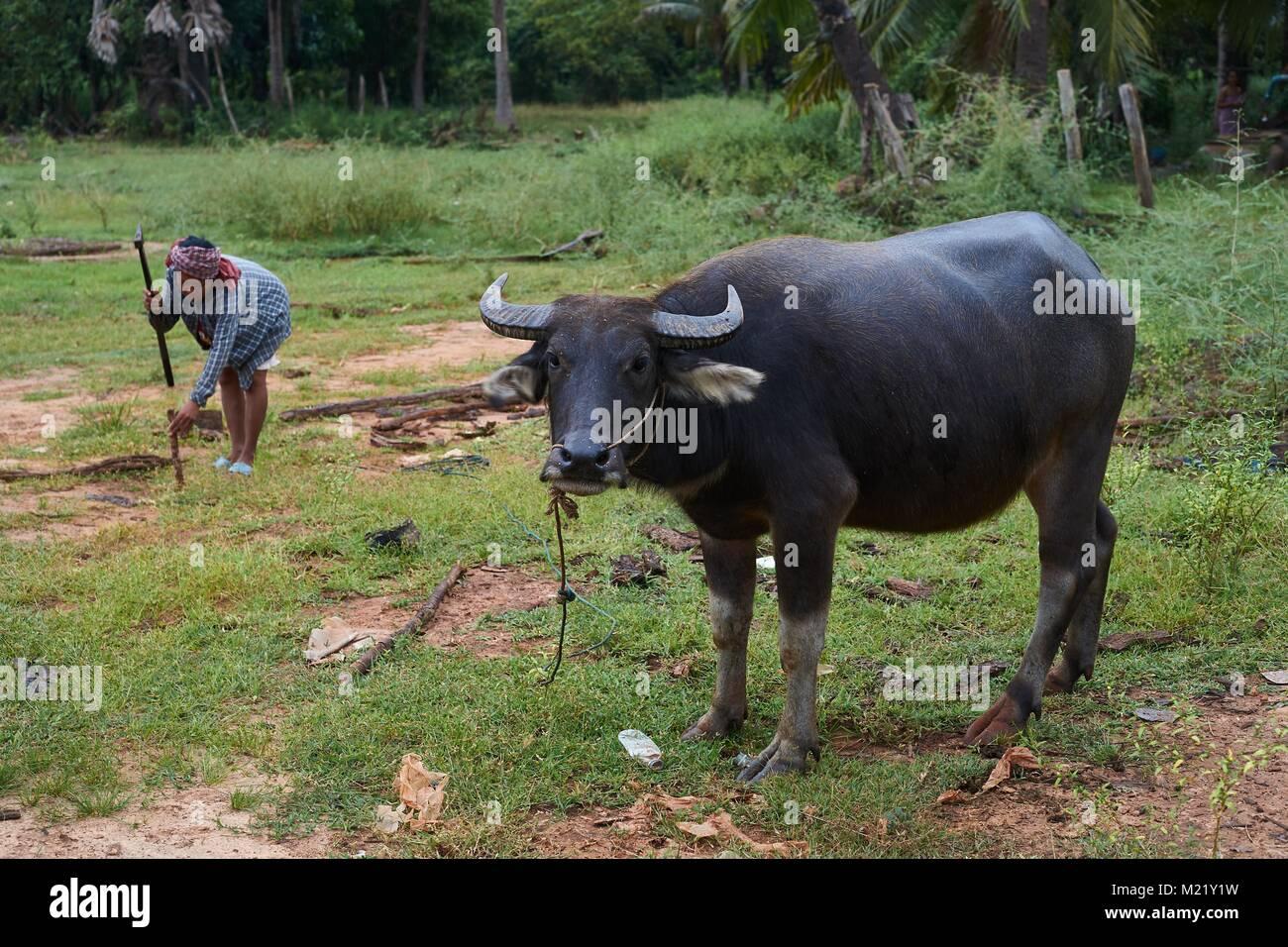 Cambodian woman attaching a buffalo, Krakor, Cambodia - Stock Image