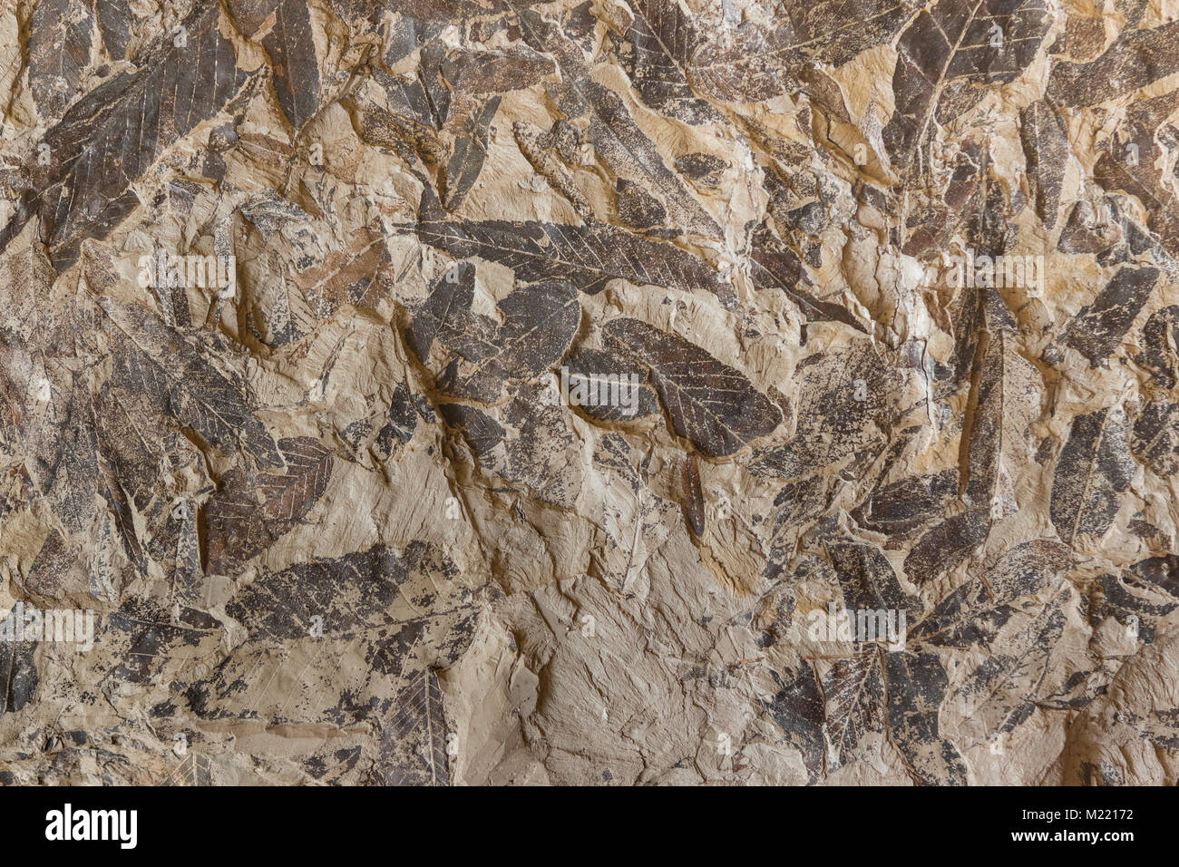 Background with Imprint of fossil prehistoric plant foliage on stone Stock Photo