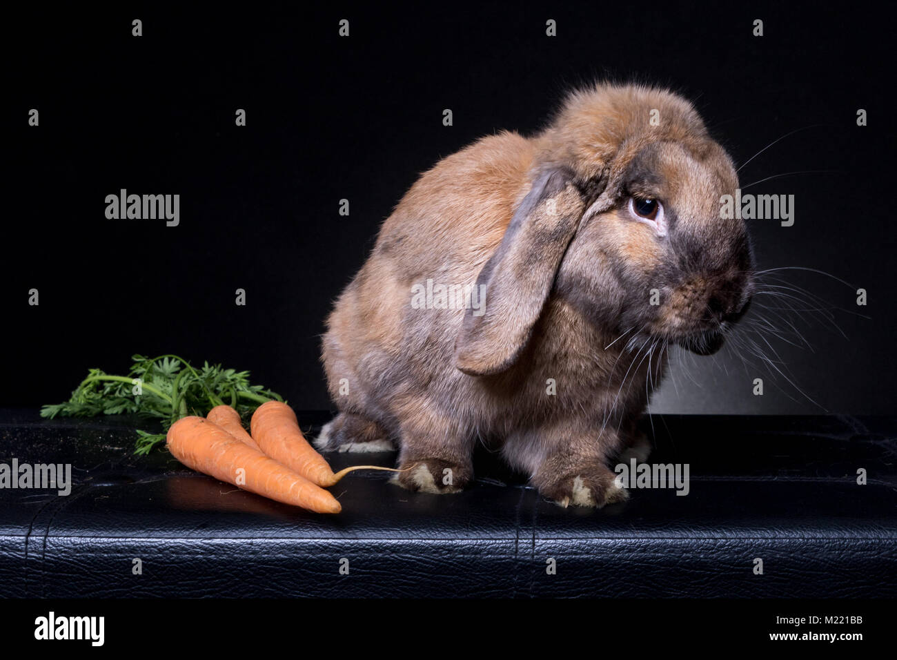 brown bunny rabbit portrait looking right  on black background, with carrots - Stock Image