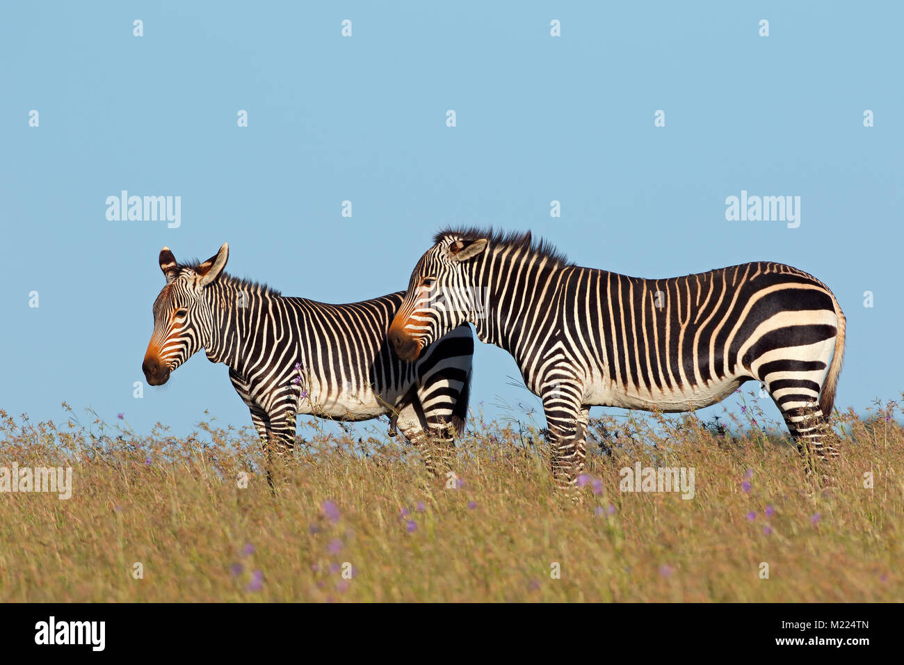 Cape mountain zebras (Equus zebra) in grassland, Mountain Zebra National Park, South Africa - Stock Image