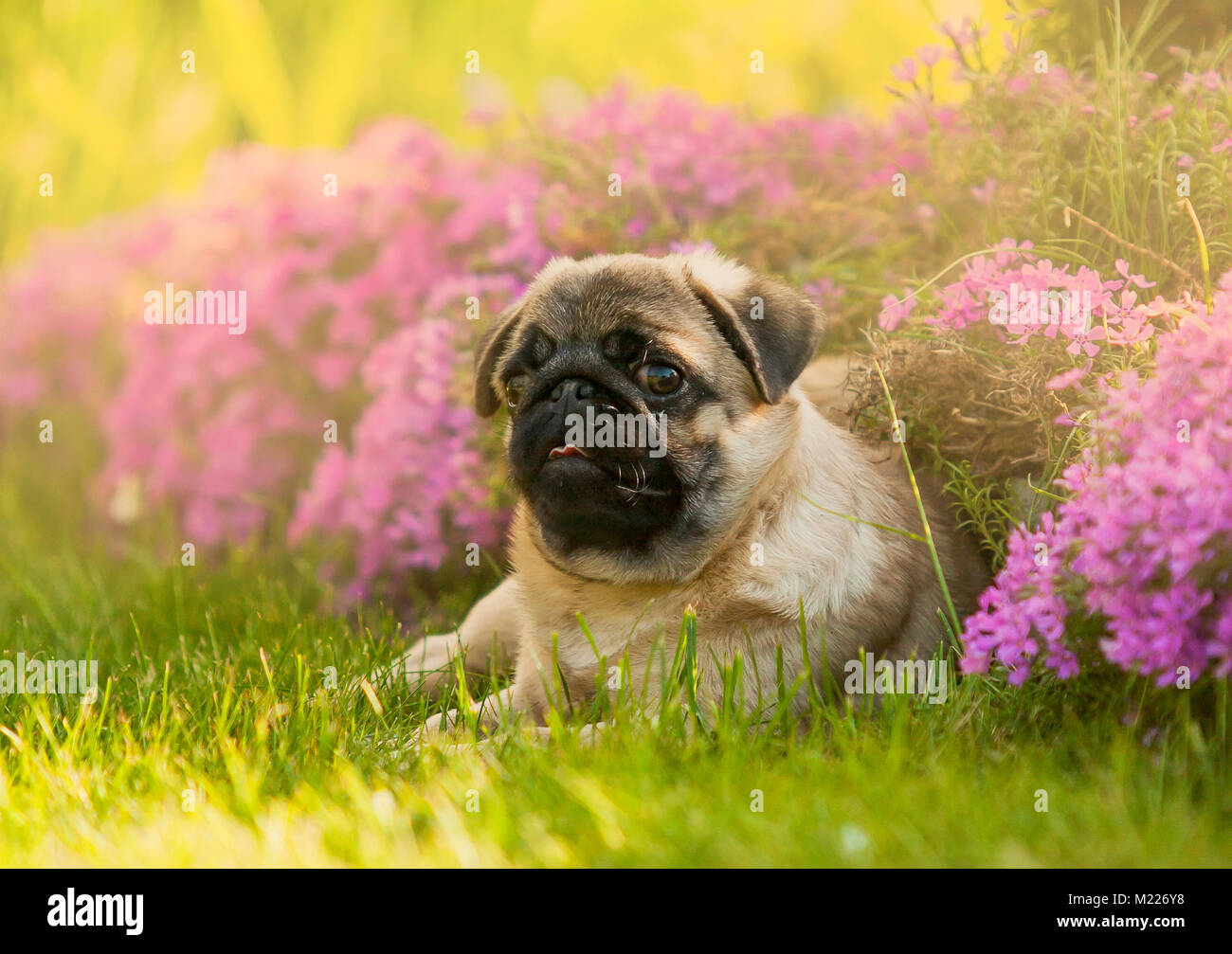 Puppy dog, the pug in the garden on the lawn, on the green grass near flowers pink - Stock Image