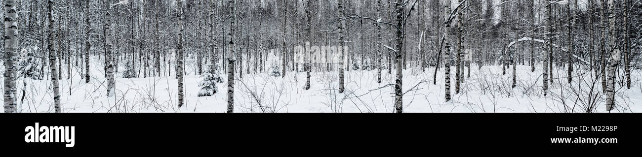 Wide panorama of a birch forest in winter - Stock Image