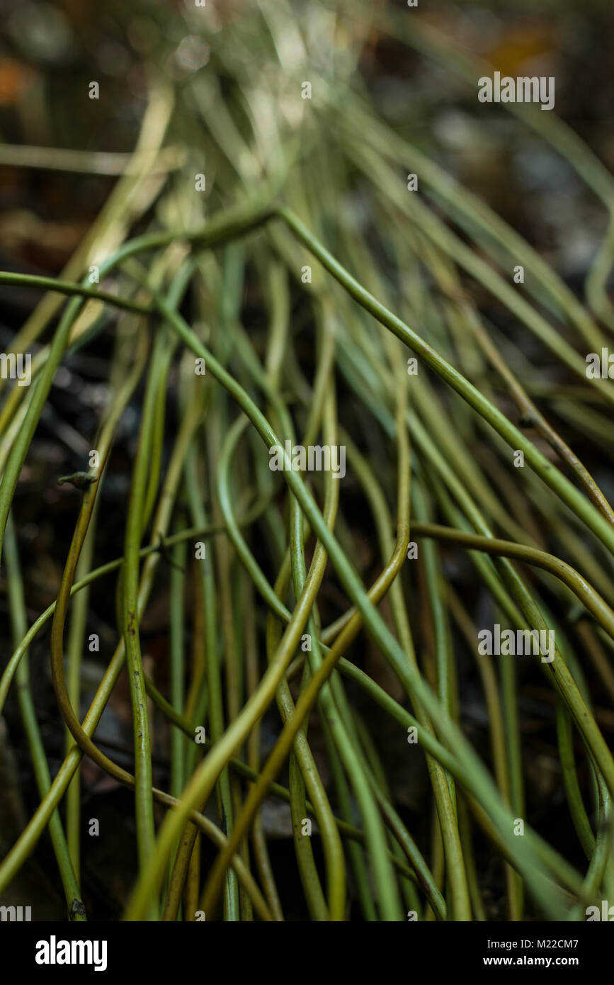 Nito plants ready to be prepared to be woven into a pinikas product - Stock Image