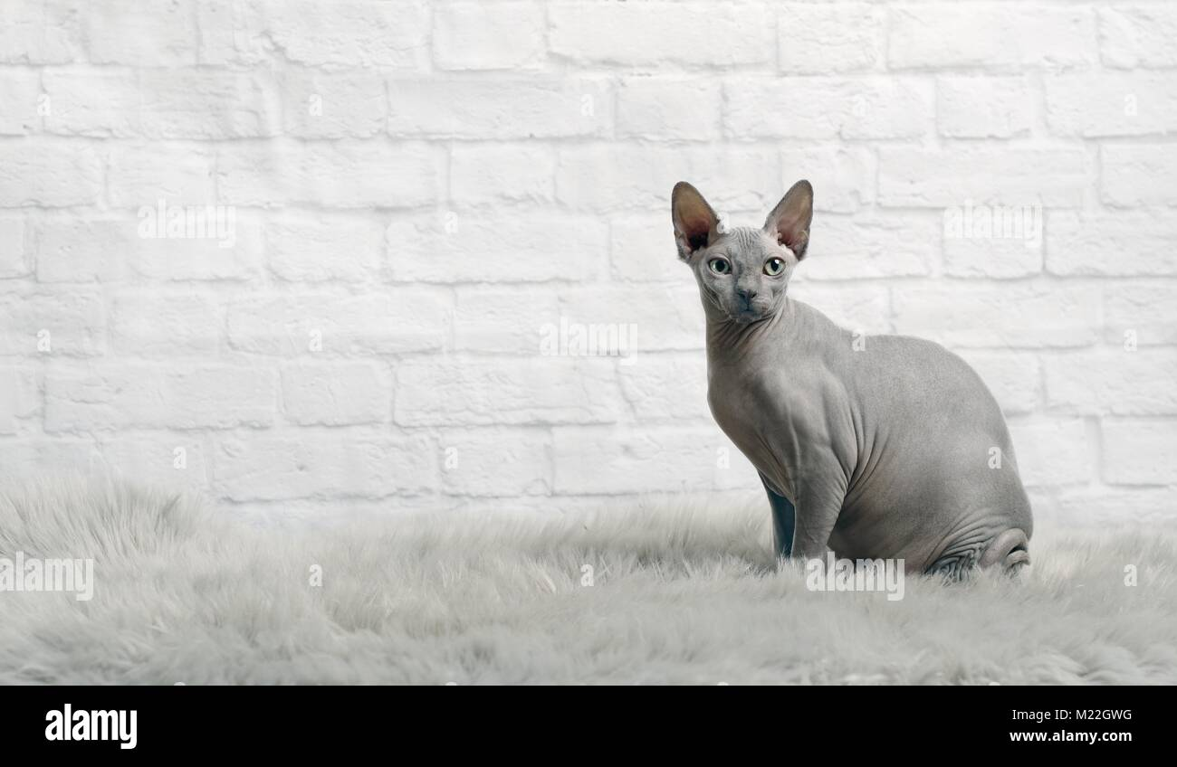 Grey sphynx cat sit on a fur blanket and look to the camera. - Stock Image
