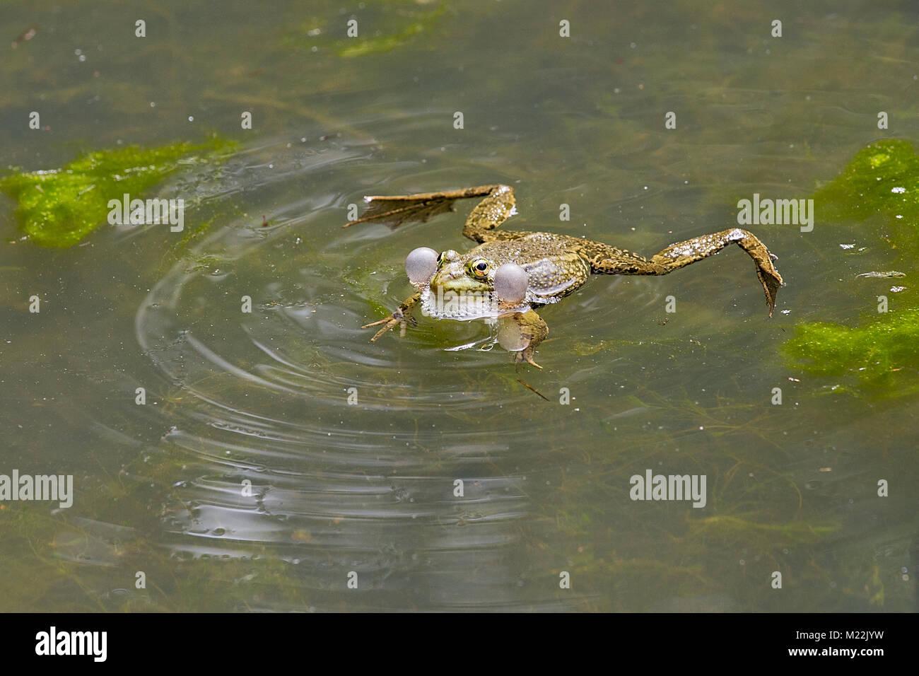 Green frog (Rana dalmatina) - Croaking frog with balloons in water - Stock Image