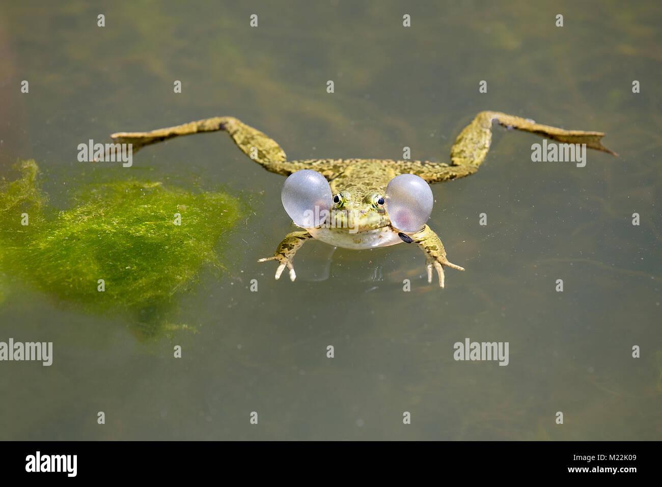 Croaking Green frog (Rana dalmatina) with balloons while croaking in water - Stock Image