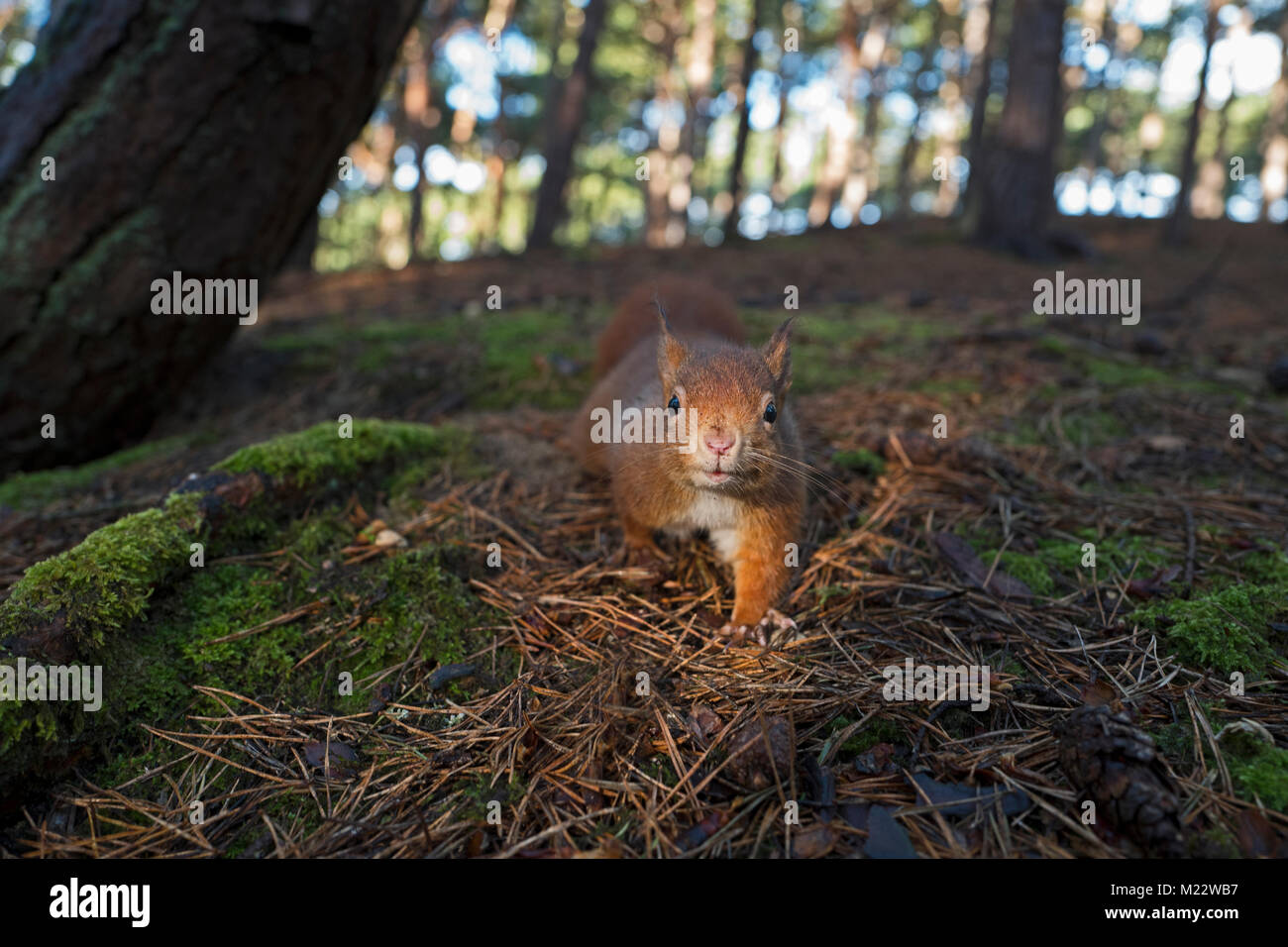 Red Squirrel, Sciurus vulgaris, Formby Lancashire winter - Stock Image