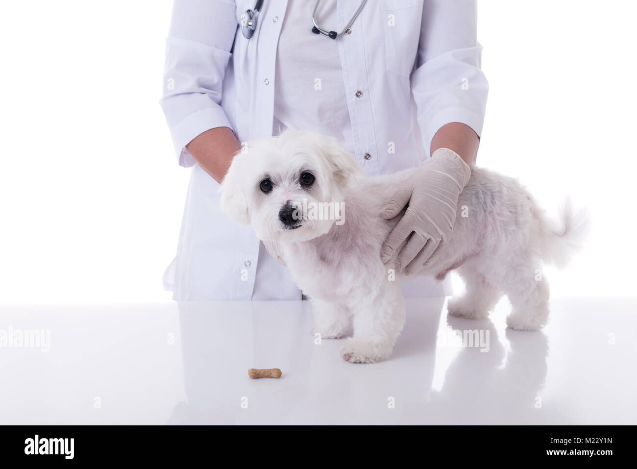 veterinarian examining a cute maltese dog in medical table with biscuit, isolated over white background - Stock Image