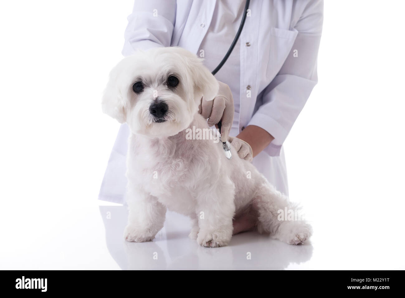 Veterinarian examining a cute maltese dog with a stethoscope on the table,isolated over white background - Stock Image