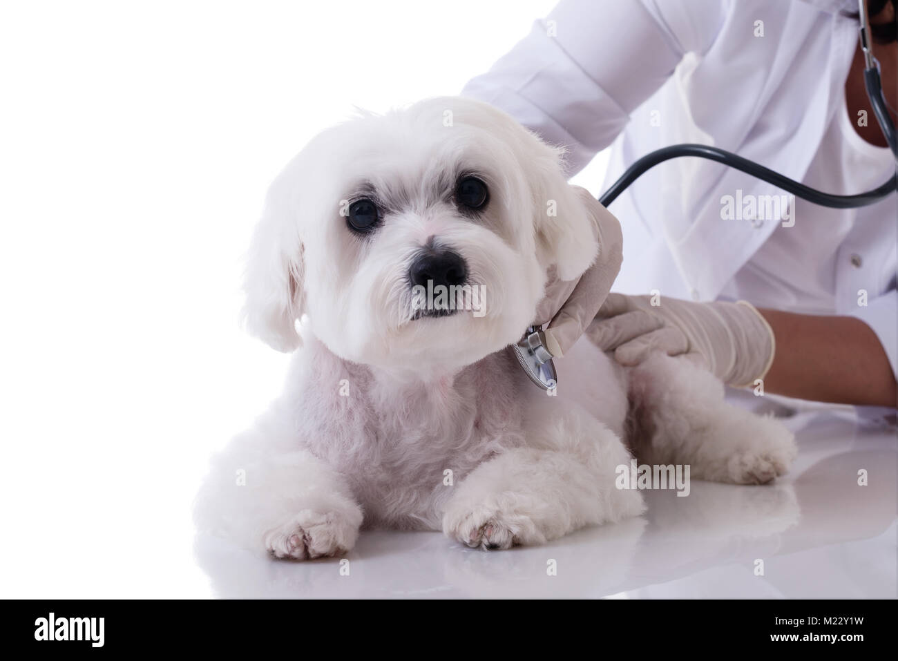 Veterinarian examining a cute maltese dog with a stethoscope on the table close up,isolated over white background - Stock Image