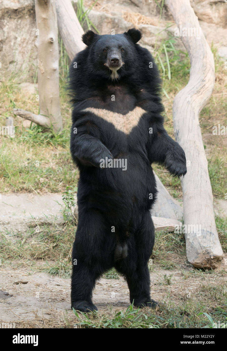 asiatic black bear in zoo - Stock Image