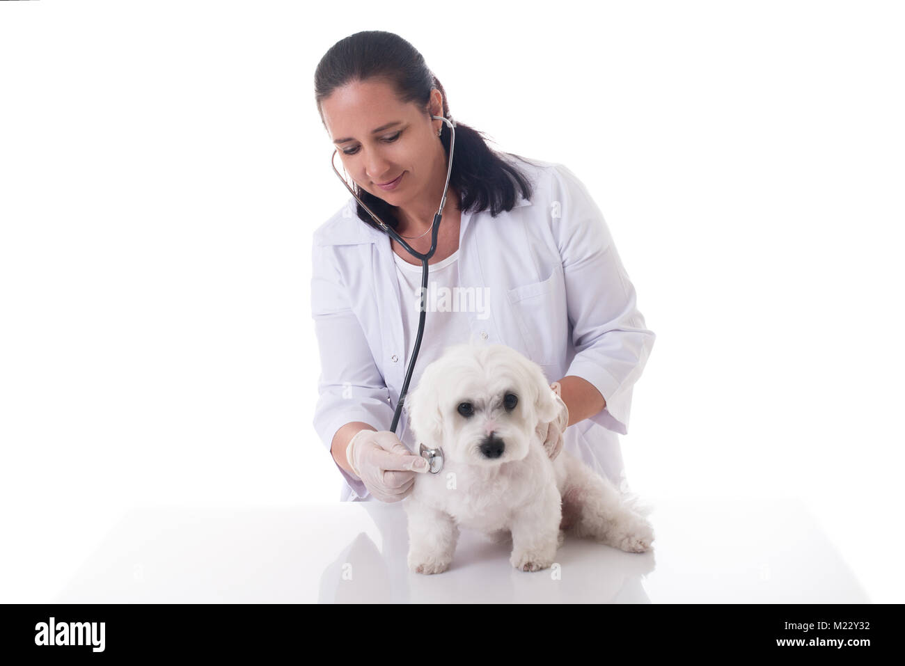 veterinarian examining  a cute maltese dog with a stethoscope, isolated over white background - Stock Image