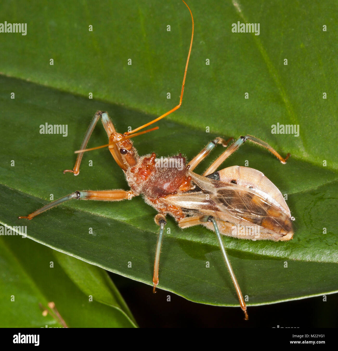 Golden brown Assassin bug, Pristhecanthus plagipennis, Australian beneficial predatory insect on green leaf - Stock Image