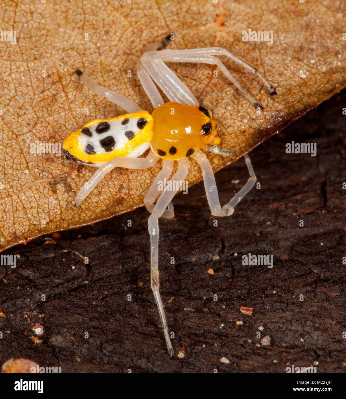 Beautiful and unusual yellow and black Australian Crab Spider, Poecilothomisus speciosus, on dry brown leaf - Stock Image